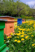 Bee-garden with colorful hives and yellow flowers — Stock Photo