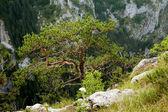 çam ağacı — Stok fotoğraf