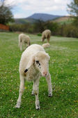 Lambs in countryside — Stock Photo