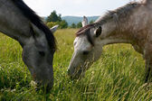 Grazing horses — Stock Photo