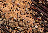 Honey bee workers on honeycomb — Stock Photo