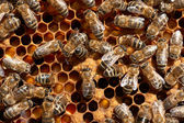 Honey bee workers close-up — Foto Stock