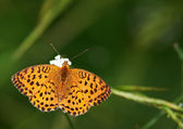 Papillon sur fond vert — Photo