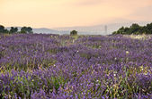 Lavender plantation in French Provence — Stock Photo