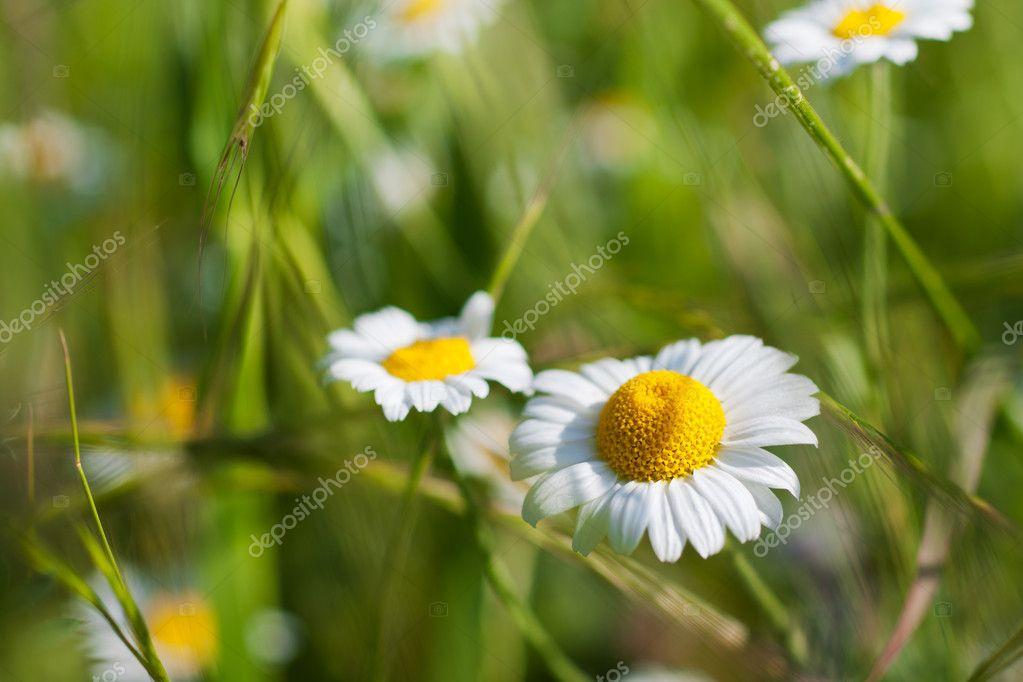 Ромашка-ромашка цветок полевой песня скачать бесплатно