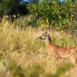 Little female roe-deer — Stock Photo
