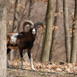 Mouflon male in oak forest — Stock Photo