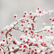 Royalty-Free Stock Photo: Frozen hawthorn branch