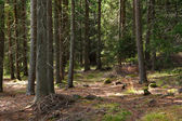 глубокая сосновый лес — Стоковое фото