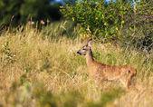 Little female roe-deer — Stock Photo