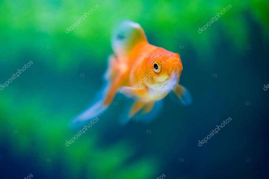 Pesce rosso sottacqua foto stock mazzachi 9150440 for Pesci rossi prezzo