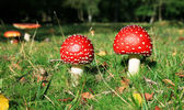 Toadstool mushrooms — Stock Photo