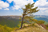 Pine-tree — Stock Photo