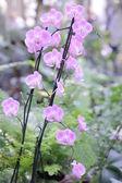 Azalea pink — Stock Photo