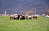 クリミアの山々 で羊 — ストック写真