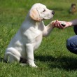 Royalty-Free Stock Photo: Labrador puppy giving paw to girl's hand