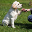 Stock Photo: Labrador puppy giving paw to girl's hand