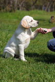 Labrador puppy giving paw to girl's hand — Stock Photo