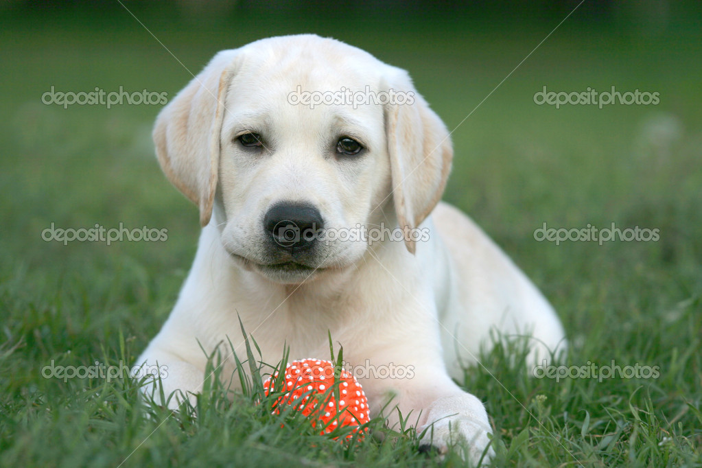 Labrador puppy playing with a yellow ball — Stock Photo #10261353