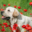 A yellow labrador in the poppy field - Stock Photo