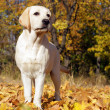 Yellow labrador puppy in autumn - Stock Photo