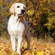 Stock Photo: Yellow labrador puppy in autumn