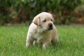 Labrador puppy in the grass — Stock Photo