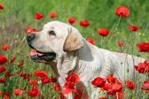 A yellow labrador in the poppy field — Stock Photo