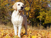 Yellow labrador puppy in autumn — Stock Photo