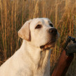 A hunting yellow labrador - Stock Photo