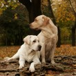 Stock Photo: Two yellow labradors in park in autumn
