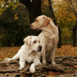 Two yellow labradors in the park in autumn - Stock Photo
