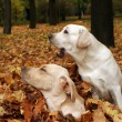 Two yellow labradors in the park in autumn leaves - Stock Photo