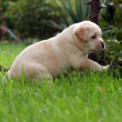 Stock Photo: Labrador puppy playing on the grass