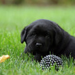 Labrador puppy on the grass with a black ball — Stock Photo