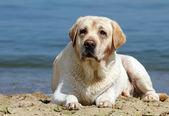 Yellow labrador laying at the beach — Stock Photo