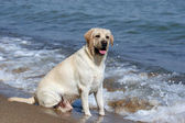 A yellow labrador in the beach — Stock Photo