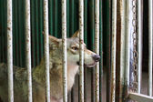 Wolf in the cage — Stock Photo