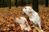 Two yellow labradors in the park in autumn leaves — Stock Photo