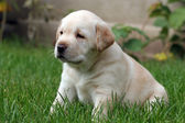 Labrador puppy sitting in the grass — Stock Photo