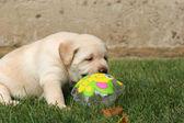 Labrador puppy in the grass with a colour ball — Stock Photo