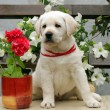 Labrador puppy with white and red flowers - Stock Photo