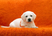 Funny yellow labrador puppy — Stock Photo