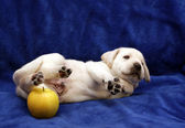 Cute yellow labrador puppy with green apple — Stockfoto