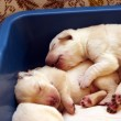 Yellow labrador puppies newborn - Stock Photo