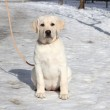 Yellow labrador puppy on the snow — Stock Photo