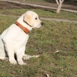 Yellow labrador puppy on the grass - Stock Photo