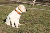Yellow labrador puppy on the grass — Fotografia Stock