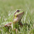 Small green frog — Stock Photo