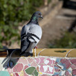 Pigeon on Tiles of Parc Guell — Stock Photo #9936300